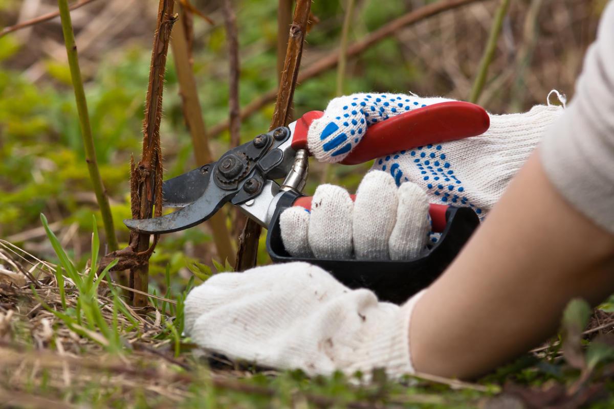 Malina Gusar: how to grow a good crop 85
